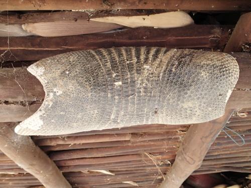 村で見つけたアルマジロの甲羅。